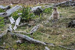 Ninho de pinguim na Isla Martillo, mais conhecida como Pinguinera, é uma ilha do Canal de Beagle procurada pelos pinguins em seu período de reprodução. FOTO: Jefferson Bernardes/ Agência Preview