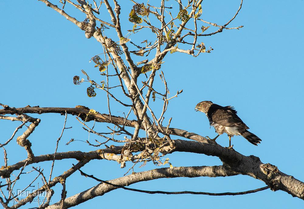A Cooper's Hawk, Accipiter cooperii, perches in a tree in Sacramento National Wildlife Refuge, California