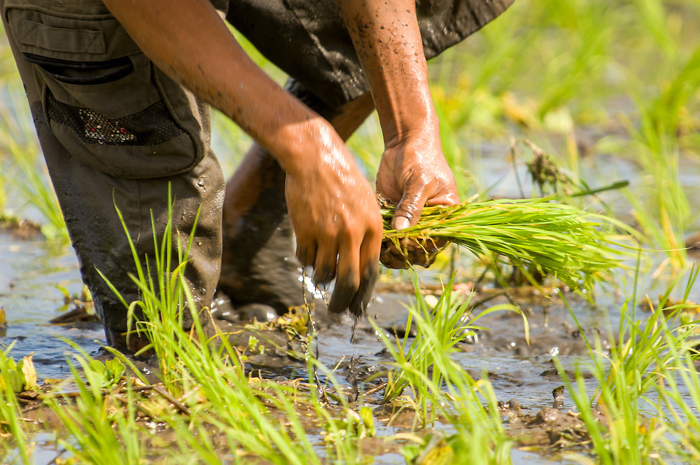 Stock photograph of rice farming in the Kotamobagu valley of North Sulawesi, Indonesia. The man is planting rice seedlings.