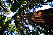 500px Photo ID: 4083478 - Redwoods in Humboldt County.