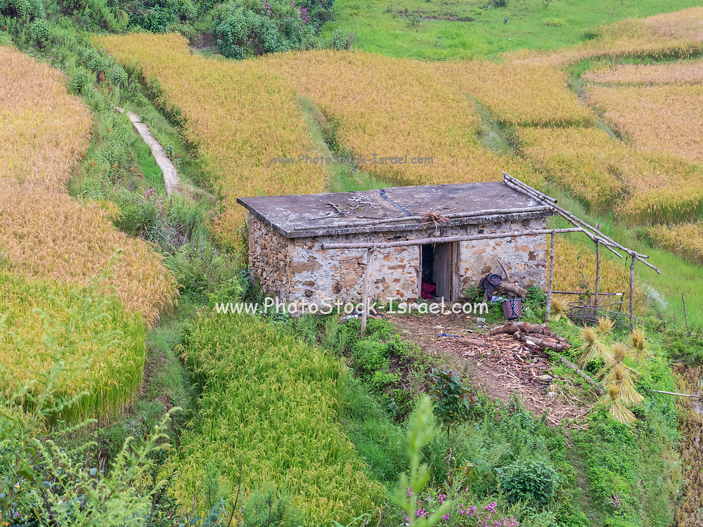 view between bamboo trees on a small farmhouse surrounded by rice paddies, Yunnan, China.