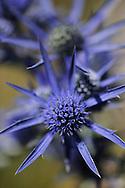 Eryngium amethystinum, Paklenica National Park, Velebit Nature Park, Dalmatian coast, Croatia