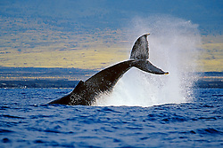 Humpback Whale, peduncle throw, Megaptera novaeangliae, Hawaii, Pacific Ocean.