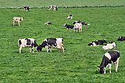 Nederland, Loenen, 23-4-2019Koeien grazen in de wei bij een melkveebedrijf.  Foto: Flip Franssen