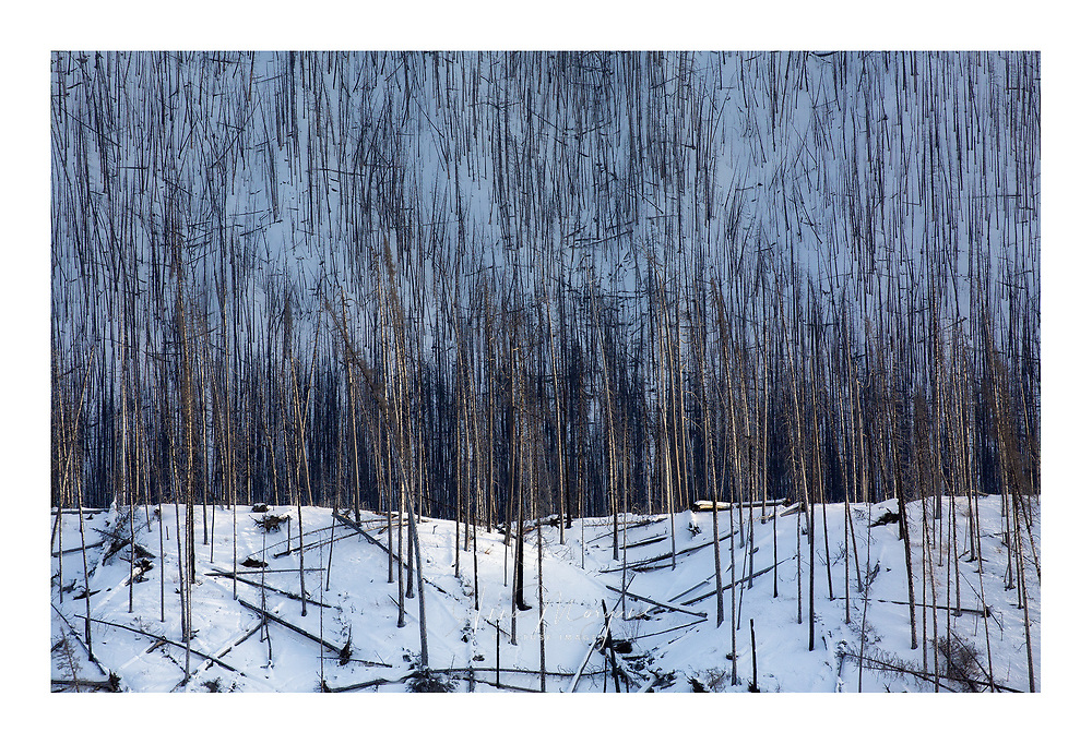 Winter light on a snowy mountain landscape in the Canadian Rockies lights up some trees in a burn area on a ridge throwing the background into blue shadows