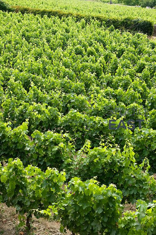The vineyard near Saint-Emilion village, Gironde region, France, on June 3, 2011. Photo by Lucas Schifres/Pictobank