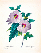 19th-century hand painted Engraving illustration of a flowering pink Hibiscus syriacus [here as Althaea frutex] flower, by Pierre-Joseph Redoute. Published in Choix Des Plus Belles Fleurs, Paris (1827). by Redouté, Pierre Joseph, 1759-1840.; Chapuis, Jean Baptiste.; Ernest Panckoucke.; Langois, Dr.; Bessin, R.; Victor, fl. ca. 1820-1850.