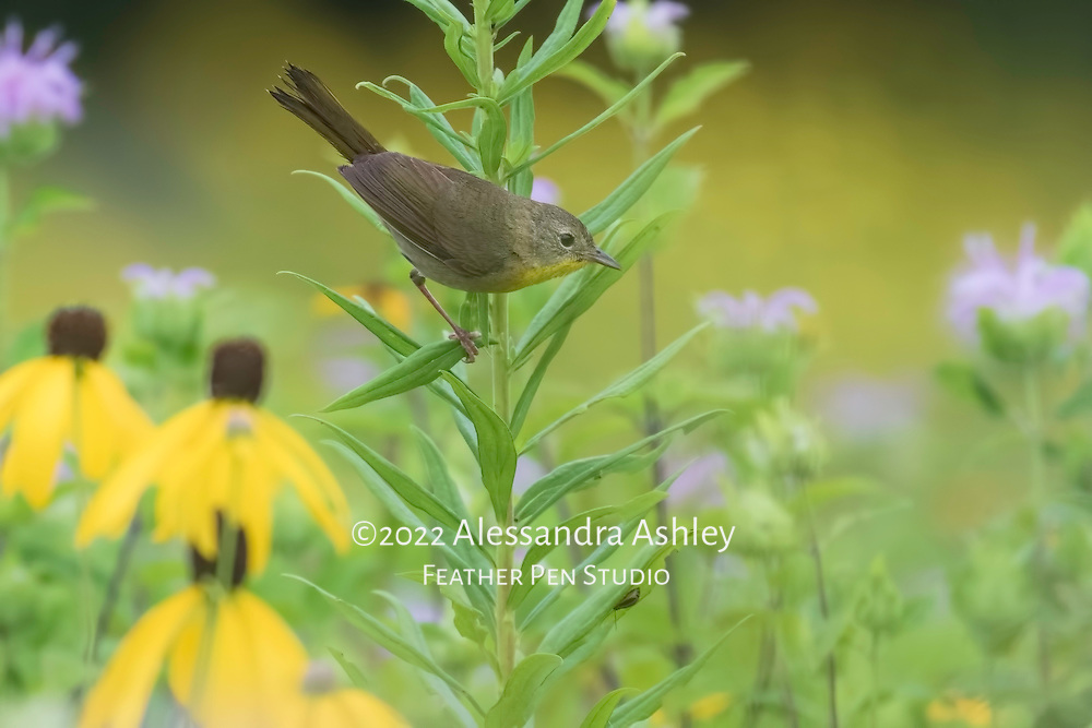 Young female common yellowthroat warbler (Geothlypis trichas) perched amid central Ohio prairie wildflowers at peak bloom in late July.