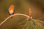 European Robin (Erithacus rubecula) on a pine tree, Israel, winter, November