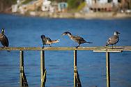 Cormorants on dock