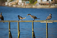 Cormorants on dock