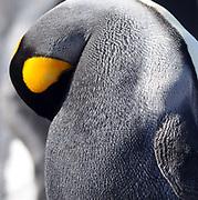 A King penguin (Aptenodytes patagonicus) preens.  Saunders Island, Falkland Islands. 15Feb16