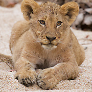 African Lion, a young cub relaxes in the sand of a dried river bed. Timbavati Game Reserve, South Africa.