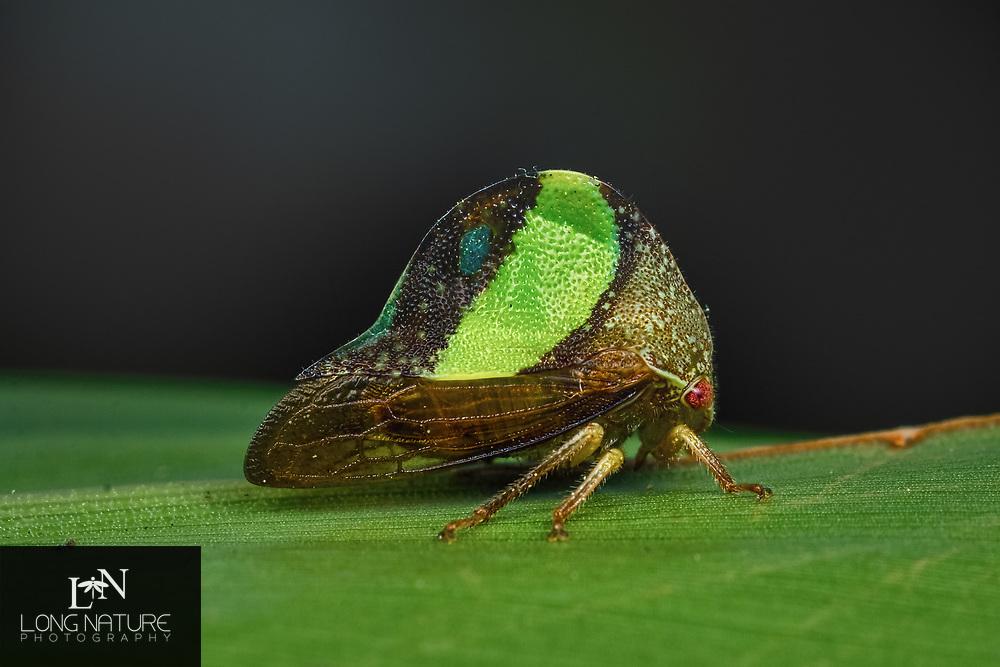 Treehopper - Smilia fasciata. photographed near the Indian River, Brevard County, FL.