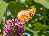 Great Spangled Fritillary butterfly (Speyeria cybele); Central Park near North Meadow, July 6, 2021.