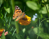 Painted Lady Butterfly (Vanessa cardui). Image taken with a Nikon D5 camera and 80-400 mm VRII lens