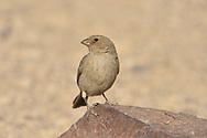 Sinai Rosefinch - Carpodacus synoicus<br /> female