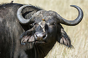 African Buffalo (Syncerus caffer) with a Yellow-billed Oxpecker (Buphagus africanus), Masai Mara National Reserve, Kenya