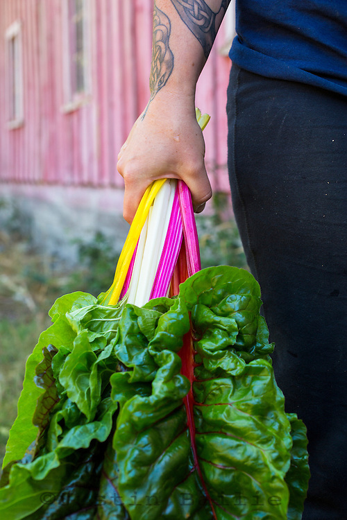 Farmers hands holding bright lights chard.