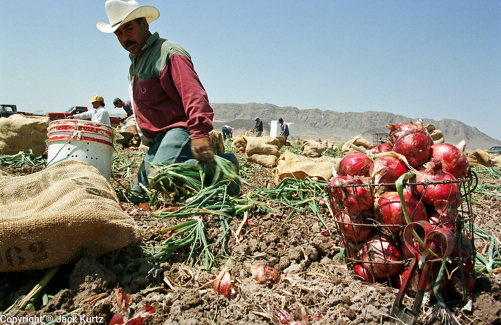 """20 MAY 1999 - PRESIDIO, TEXAS: Leopoldo Carrasco, a migrant worker from Presidio, Texas, harvests onions in a field near Presidio May 20. The workers start in the fields at first light and work until mid-afternoon or later. The temperature at the end of the work day is frequently over 100 degrees. The onion harvest in south Texas started earlier this month and ends May 21. Agriculture is the main industry in Presidio, a town of 3,000 people that borders Mexico on the Rio Grande river. Hundreds of people are employed as short term seasonal workers during the onion harvest which ends with the town's """"Onion Festival"""" May 22. Onions are shipped from Presidio to destinations across the United States.      Photo byJack Kurtz   AGRICULTURE  BORDER  LABOUR  ECONOMY   FOOD   IMMIGRANTS"""