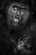 Weibchen des Östlichen Flachlandgorillas (Gorilla beringei graueri) mit ihrem drei Wochen alten Baby, Kahuzi-Biega Nationalpark, Süd-Kivu, Demokratische Republik Kongo<br /> <br /> Eastern lowland gorilla (Gorilla beringei graueri) female with her three-week-old baby, Kahuzi-Biega National Park, South Kivu, Democratic Republic of the Congo