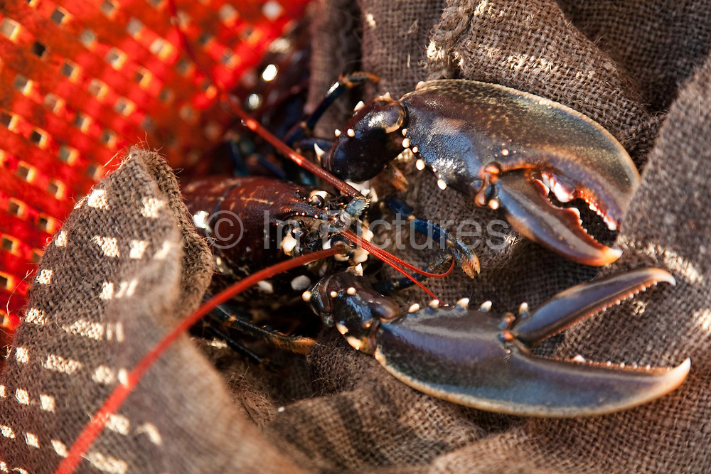 A lobster caught by Richard and his ship mate. They have about 20 sites with 15 lobster pots in each site sitting on the buttom which positions are all logged and found using GPS and visual contact.<br /> Sustainable fishing methods and small scale fisher men syndicates are now common along the British coast. In Christchurch Bay a small band of fisher men catch their fish, lobsters, cuttlefish and crabs from small boats. They all fish according to the latest environmenttal guidance to keep their fishing as sustainable as possible. They then sell their catch as a syndicate to big export companies or fish shops in cities like London.