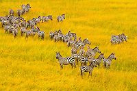An aerial view of a herd of zebra on the move, Masai Mara National Reserve, Kenya