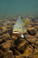Green Sunfish<br /> <br /> Isaac Szabo/Engbretson Underwater Photo