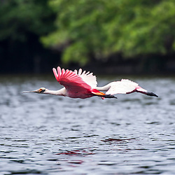 """Colhereiro (Platalea ajaja) fotografado em Vitória, Espírito Santo -  Sudeste do Brasil. Bioma Mata Atlântica. Registro feito em 2016.<br /> <br /> <br /> <br /> ENGLISH: Roseate Spoonbill photographed in Vitoria, Espírito Santo - Southeast of Brazil. Atlantic Forest Biome. Picture made in 2016."""