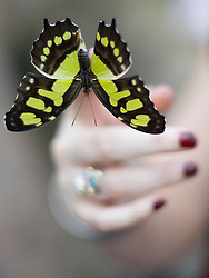 © Licensed to London News Pictures. 25/01/2012. Woking, UK.  An RHS Wisley worker holds a Malachite butterfly at a press call for 'Butterflies in the Glasshouse' at RHS Garden Wisley near Woking, Surrey on January 25th, 2012. For four weeks the greenhouse at RHS Garden Wisley is transformed by over one thousand colourful butterflies which only live for a few weeks. Photo credit : Ben Cawthra/LNP