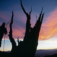 A ski mountaineer hikes down past an ancient Bristlecone Pine tree.