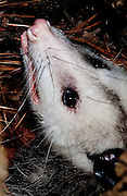 Opossum close-up in tree hollow