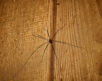 Daddy Longlegs Guarding my Doorway. Actually Harvestmen a type of arachnids, but not a real spider. Image taken with a Nikon D3 camera and 105 mm f/2.8 VR macro lens (ISO 200, 105 mm, f/8, 1/60 sec).