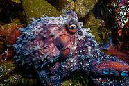 Octopus pics