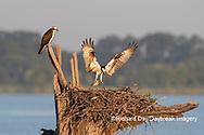 00783-02104 Osprey (Pandion haliaetus) landing at nest with fish Rend Lake Jefferson Co. IL
