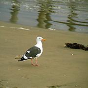 Segull along the Pacific Ocean in Huntington Beach, California