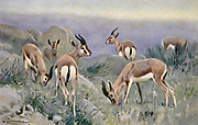 Gazelle (Gasella dorcas) from the book '  Animal portraiture ' by Richard Lydekker, and illustrated by Wilhelm Kuhnert, Published in London by Frederick Warne & Co. in 1912