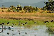White-faced Whistling Duck (Dendrocygna viduata)<br /> Karanambu Lodge<br /> Rupununi<br /> GUYANA<br /> South America