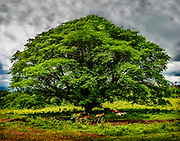 Down the mountain from Arenal Volcano in Costa Rica Tree on a cloudy day while cows lay under the shade of the tree.