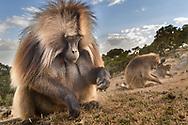 Eine Dschelada-Gruppe (Theropithecus gelada) beim Grasen mit einem Männchen im Vordergrund, Simien Nationalpark, Debark, Region Amhara, Äthiopien<br /> <br /> A Gelada group (Theropithecus gelada) grazing with a male in the foreground, Simien National Park, Debark, Amhara Region, Ethiopia