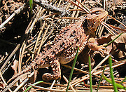 """The Short-Horned Lizard (Phrynosoma hernandesi) is often wrongly called a """"Horned Toad"""" or """"Horny Toad."""" Photo in Nankoweap Canyon, Arizona, USA."""
