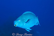 blue parrotfish, <br /> Scarus coeruleus, terminal male<br /> Bahamas ( Atlantic Ocean )