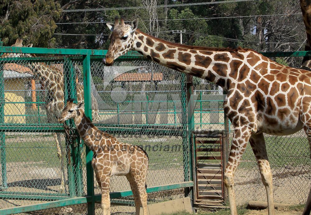 Calimaya,  México.- El zoológico de Zacango presento a sus nuevos inquilinos, en los últimos tres meses se dieron los nacimientos de una jirafa reticulada, un mono araña, un Orix del Cabo y un antílope Lechwe Rojo. Agencia MVT / Crisanta Espinosa