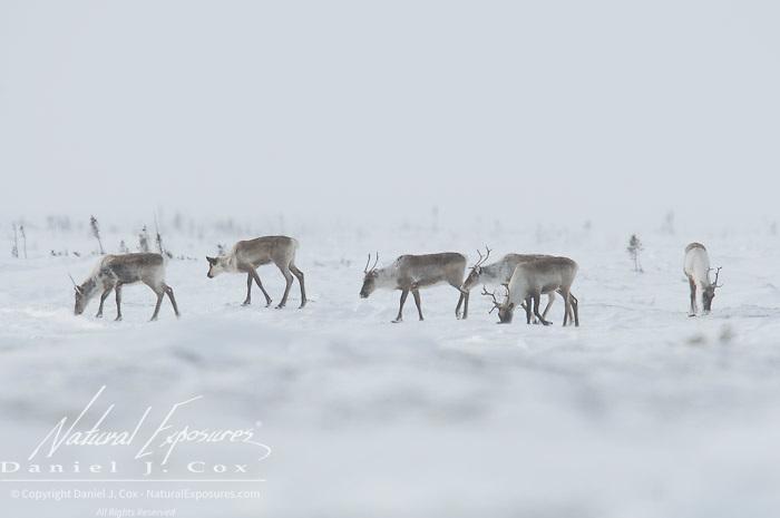 Barren Ground Caribou (Rangifer arcticus) Wapusk National Park, Manitoba