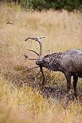 Trophy bull elk at wallow during fall rut