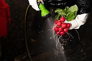 Washing freshly harvested Radishes