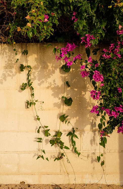 Pink and green bougainvillea vines spill over a sea wall at a beach in Barbados