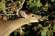 Florida key deer, feeding