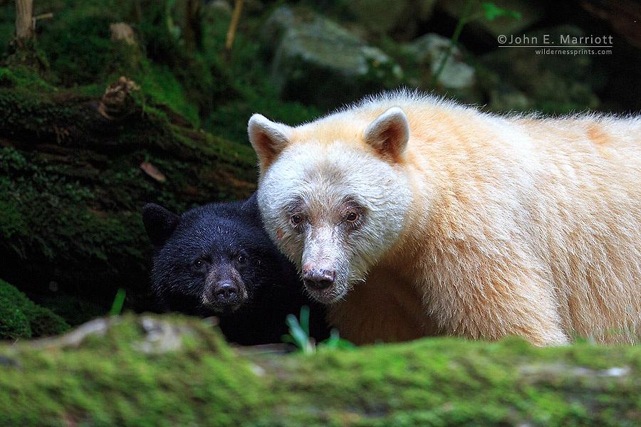 Spirit bear and cub in the Great Bear Rainforest, British Columbia, Canada