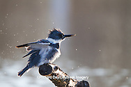 01186-00915 Belted Kingfisher (Ceryle alcyon) male shaking off water at wetland, Marion Co., IL
